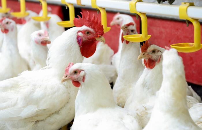 Az állatok antibiotikumos kezelésének járulékos költségei